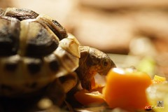"""Seven"" - Griechische Landschildkrte (3) (Ellenore56) Tags: light inspiration color colour detail macro reflection animal fauna licht photo klein focus foto emotion little turtle reptile magic perspective tortoise vista imagination outlook moment creature makro magical farbe reflexion tier perspektive reflektion physalis reptil schildkrte augenblick fokus babyturtle cites reptilien faszination lebewesen griechischelandschildkrte tierwelt testudohermanni 6cm landschildkrte kapstachelbeere sonya350 animatebeing babyschildkrte ellenore56 10082012 31012013 hermannstortoise babeturtle 02inches egbescheinigung citeszertifikat"
