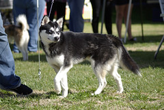 Hunter (Alexandra Kimbrough) Tags: show dog toy miniature husky pentax huskies event kai klee alaskan ukc conformation akk