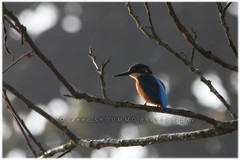 common kingfisher/   (Shoummo ()) Tags: kingfisher common bangladesh birdphotography   bangladeshibird saeedshoummo  shoummo