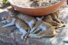 Molyvos - Sleeping Cat Family (Drriss) Tags: travel cats europe greece lesvos lesbos molyvos straycats molivos mithymna northaegean methymna