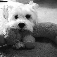 Cutie! (maru.quintero) Tags: dog pet baby love amor perro bebe mascota miniatureschnauzer mejoramigo bestcompanion