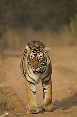 ADS_148 (dickysingh) Tags: road wild india color nature animal forest cat mammal wildlife tiger tracks bigcat jungle vegetation dirtroad approach predator approaching ranthambore bengaltiger indiantiger ranthambhorenationalpark pantheratigristigris wwwranthambhorecom