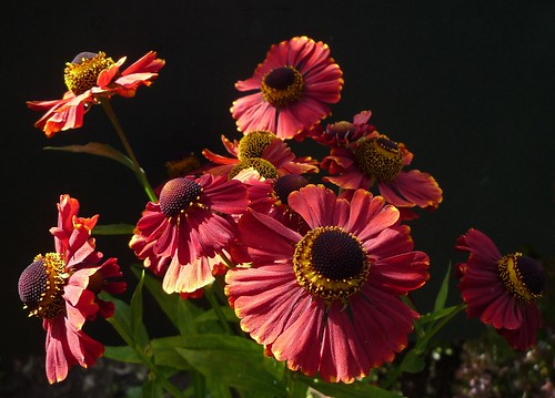héléniums