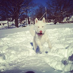 Blue loves the snow! (Melissa O'Donohue) Tags: dog snow playing newyork cute puppy square fun happy husky adorable running siberianhusky squareformat upstatenewyork snowball playinginthesnow amaro myboo iphoneography instagramapp uploaded:by=instagram foursquare:venue=4d16459a816af04d944848c2 stormnemo