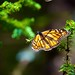 Monarch butterfly at the Monarch Butterfly Biosphere Reserve (1)