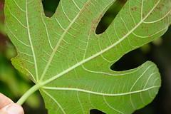 Anglų lietuvių žodynas. Žodis fig-leaf reiškia n figos lapelis (ir prk.) lietuviškai.