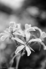 Black & White Dreams (mare-photos) Tags: blackandwhite bw flower macro nature spring pentax blossom natur pflanzen sigma blumen sw weiss schwarz bunt frühling blüten k7