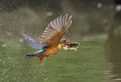 Stork-billed action 4 (kampang) Tags: storkbilledkingfisher pelargopsiscapensis storkbilledfishing