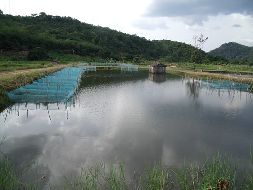 Tilapia breeding pond in Ghana. Photo by Curtis Lind, 2009.