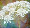 Queen Anne's Lace (scilit) Tags: stilllife flower texture closeup square lights flora details 1001nights wildflower birdsnest queenanneslace wildcarrot coth bishopslace awesomeblossoms tatot artistictreasurechest magicuniverse magicunicornverybest magicunicornmasterpiece naturescarousel 1001nightsmagiccity