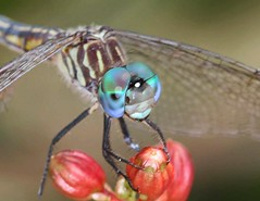 Blue Dasher (DrPhotoMoto) Tags: dragonfly northcarolina richmondcounty bluedasher fabulousflowers