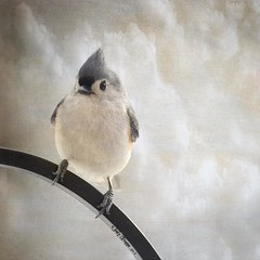 Perfect Balance (dog ma) Tags: bird texture titmouse tufted dogma magicunicornverybest magicunicornmasterpiece