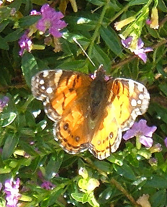 Butterfly on mexican heather