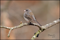 Dark-eyed Junco (Diane G. Zooms) Tags: nature birds junco darkeyedjunco wildbirds coth theworldwelivein supershot specanimal top20clonepics fantasticnature avianexcellence coth5 sunrays5 brownjunco