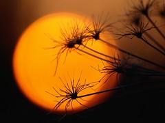 Aux dernières lueurs ★ -°--° (Titole) Tags: soleil coucherdesoleil contrejour umbel umbellifer ombellifère orange thechallengefactory favescontestfavored nicolefaton titole ultimategrindwinner friendlychallenges challengegamewinner ultrahero twothumbsup beanstalk