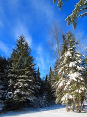 Blue Skies (Jacob Grochowski) Tags: trees winter snow michigan blueskies spruce alpena brightblue clearskies northernmichigan
