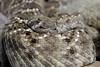 crotalo (crotalus atrox) (Leonardo Delfini) Tags: parco milano safari safaripark serpente rettile autosafari novara veleno sonagli rettilario velenoso pombia