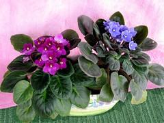 flowers flower houseplant bloom blooms africanviolet blooming