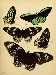 n96_w1150 (BioDivLibrary) Tags: lepidoptera arthropoda stpatricksday catalogs papilionidae britishmuseumnaturalhistory catalogsandcollections harvarduniversitymczernstmayrlibrary deptofzoology bhl:page=32540099 dc:identifier=httpbiodiversitylibraryorgpage32540099 bhlarthropod