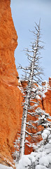 Pine Tree dead in Bryce Canyon Snow (houstonryan) Tags: park county sunset snow art print point photography march utah photographer ryan hiking snowy snowstorm houston canyon hike system snowcapped national photograph covered area hoodoo bryce hatch redrock sell garfield selling hoodoos snowcovered snowed panguitch 2013 houstonryan