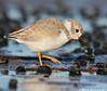 Youngster (v4vodka) Tags: bird nature animal wildlife birding longisland birdwatching plover pipingplover charadriusmelodus westmeadowbeach pipingploverchick sieweczka siewka