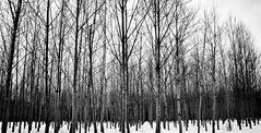 perspective... *Explored* (jose_abc) Tags: trees winter white snow canada canon quebec hiver explore arbres qubec neige blanc explored