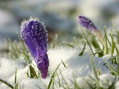 It is hard to believe that a week ago it was 15C / 59F..... ! (joeke pieters) Tags: snow flower ice bokeh sneeuw crocus krokus bloem ijs platinumheartaward mygearandme mygearandmepremium mygearandmebronze mygearandmesilver mygearandmegold mygearandmeplatinum mygearandmediamond panasonicdmcfz150 1050884
