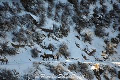 Bright Angel Trail (Thank You 7.5 Million Visitors!) Tags: arizona snow grandcanyon mules southrim grandcanyonnationalpark brightangeltrail grandcanyonvillage packmules muletrain grandcanyonsouthrim pamelaschreckengost pamschreckcom ©2013pamelaschreckengost