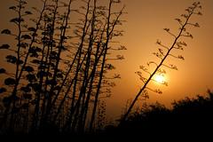 Atardecer en Cabo de Gata (ángel mateo) Tags: ángelmartínmateo cabodegata níjar almería andalucía españa spain pitas vegetación cielo atardecer puestadesol ocaso sunset sky vegetation ángelmateo parquenaturalcabodegataníjar