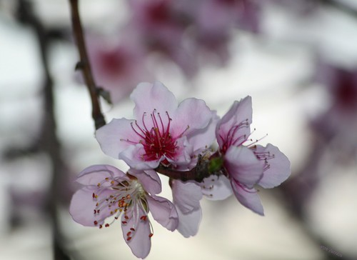 Pretty Peach Blossoms