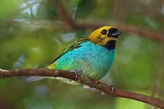 Gilt-edged Tanager (Tangara cyanoventris) (PeterQQ2009) Tags: brazil birds giltedgedtanager tangaracyanoventris saradouradinha