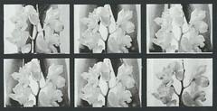 Untitled () Tags: flowers blackandwhite man orchid cum sex self stem orgasm fertile semen ejaculation