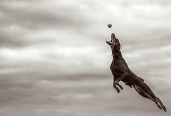 Must...get.....ball (Petr Brodk) Tags: winter wild sky bw cloud dog pet brown white playing motion cute dogs nature monochrome field weather animal playground sepia clouds speed lens geotagged fun outside town flying photo spring cool jump jumping movement nikon focus scenery funny long exposure flickr dof open czech bokeh outdoor f14 candid wide 85mm sharp brno telephoto filter chrome rainy agility short tele mm shallow manual nikkor vivitar bower clumsy dobberman 8514 digitalcameraclub samyang mywinners rokinon favescontestwinner d7000 blinkagain