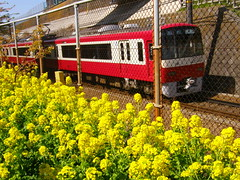 (hamapenguin) Tags: flower nature yellow train spring railway kanagawa rapeblossom     celerycabbage
