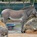 Grevy's Zebra aka Imperial Zebra (Equus grevyi)