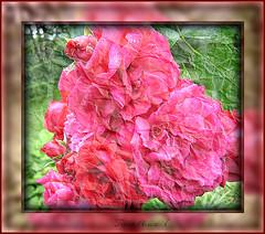 Paper rose. (tarelkaz1) Tags: pink flowers red roses summer macro green texture garden crazy flora memories experiment topshots flickraward photosandcalendar flowersarebeautiful excellentsflowers natureselegantshots naturethroughthelens sonydscs730 theoriginalgoldseal mygearandme ipiccy
