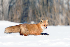 Red Fox In Snow (affinity579) Tags: winter red wild snow nature animal nikon quebec wildlife running fox 2xteleconverter 70200m specanimal d700
