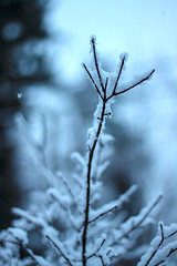 Last Hurrah (Photo Amy) Tags: snow snowflakes evening bush branch bare bluehour shrub burningbush springsnow wintry ef50mm18 canoneos50d