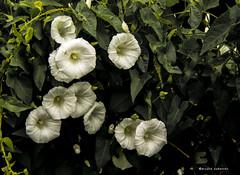 2095  Flores (Ricard Gabarrs) Tags: flor flores planta plantas botanica jardin naturaleza ricardgabarrus olympus campanillas ricgaba