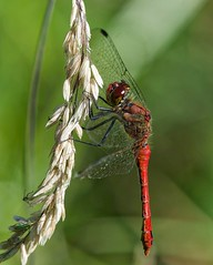 Ruddy Darter (m) (John Assheton) Tags: dragonfly nwt hicklingbroad norfolk