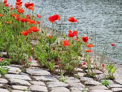 ckuchem-0398 (christine_kuchem) Tags: wild rot wasser steine stadt kanal grn ufer blte middelburg mohn kopfsteinpflaster pflasterstein stadtgrn kopfstein wachsen begrnung ziwschen wildpflanze wildwuchs feldblume