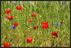 Bleuets et Coquelicots IMGP6121 (robert.fr.22) Tags: bleuets coquelicots fleurs flore montagnacmontpezat alpesdehauteprovence