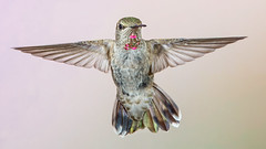 Anna's Hummingbird (female) (Eric Gofreed) Tags: annashummbingbird hummingbird mybackyard sedona villageofoakcreek yagvaggpaicounty