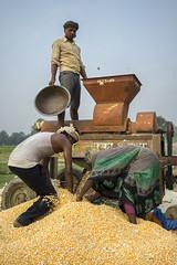Farm workers shell maize with a machine powered by 4WT in Sirkohiya, Bardiya. (CIMMYT) Tags: nepal csisa cimmyt maize agriculture smallholder farmer mechanization asia