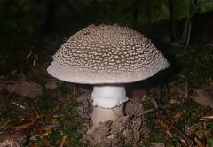 Blusher. (Steviethewaspwhisperer) Tags: blusher fungus fungi toadstool toadstools mushroom mushrooms ethiewoods