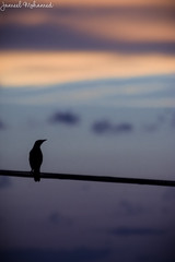 Reminiscing (Jameel Mohamed) Tags: bird sunset silhouette cool cold weather animals black dark shadow sun light wire standing looking wings high sky birds