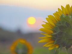 sun und sunflower_8150250 (hans 1960) Tags: sun sonne sunflower sonnenblume nature natur sunrise backside himmel sky gelb yellow makro blumen sommer summer blossoms