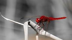 DSC_7487 (Bruno ArtPhoto) Tags: macromonday red nature beach art tamron nikon sicile dragonfly libellule macro decay new garden macromondays rouge desaturated colors bw desaturation faune fauna portrait