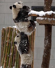 #panda  #helping another panda in her #crisis . #intelligent #heartwarming #kindness  (Pretty Cool Pic) Tags: pretty cool panda  helping another her crisis intelligent heartwarming kindness