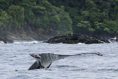 Ballena jorobada llegando a Utra (Fredy Gmez Suescn) Tags: ballena jorobada yubarta migracin pnnutria pacifico chocobiogeogrfico choc colombia utria ensenada whale humpback tail